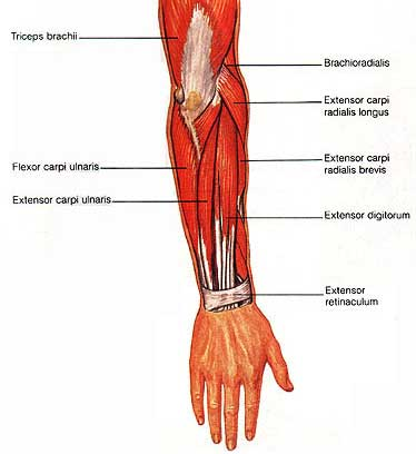 Задняя группа мышц предплечья.